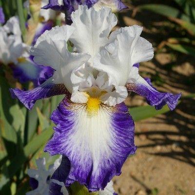 Hohe Iris