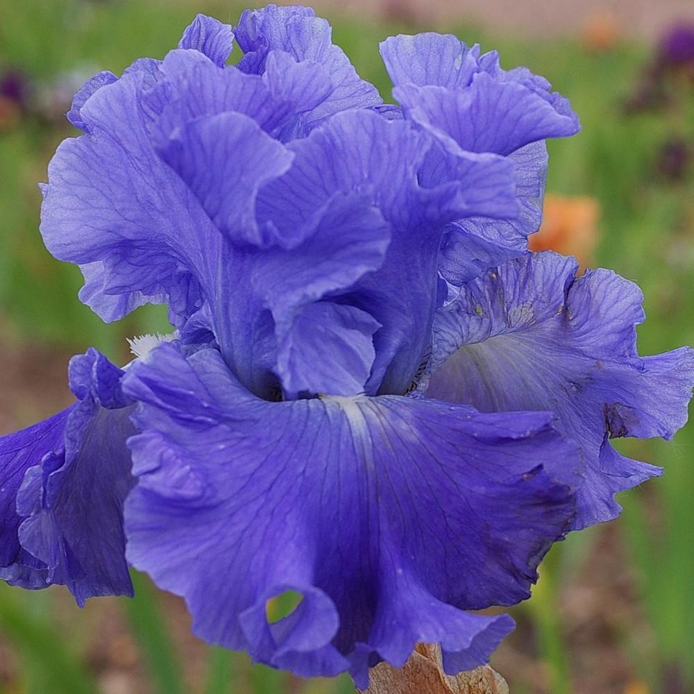METOLIUS BLUES