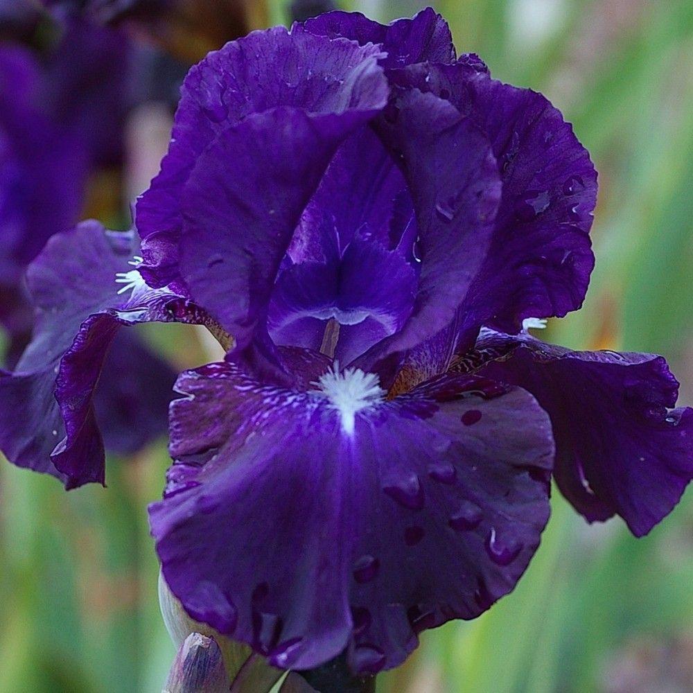 midnight ice iris interm diaire bleu violet sombre bien uni int ressant pour ses barbes. Black Bedroom Furniture Sets. Home Design Ideas