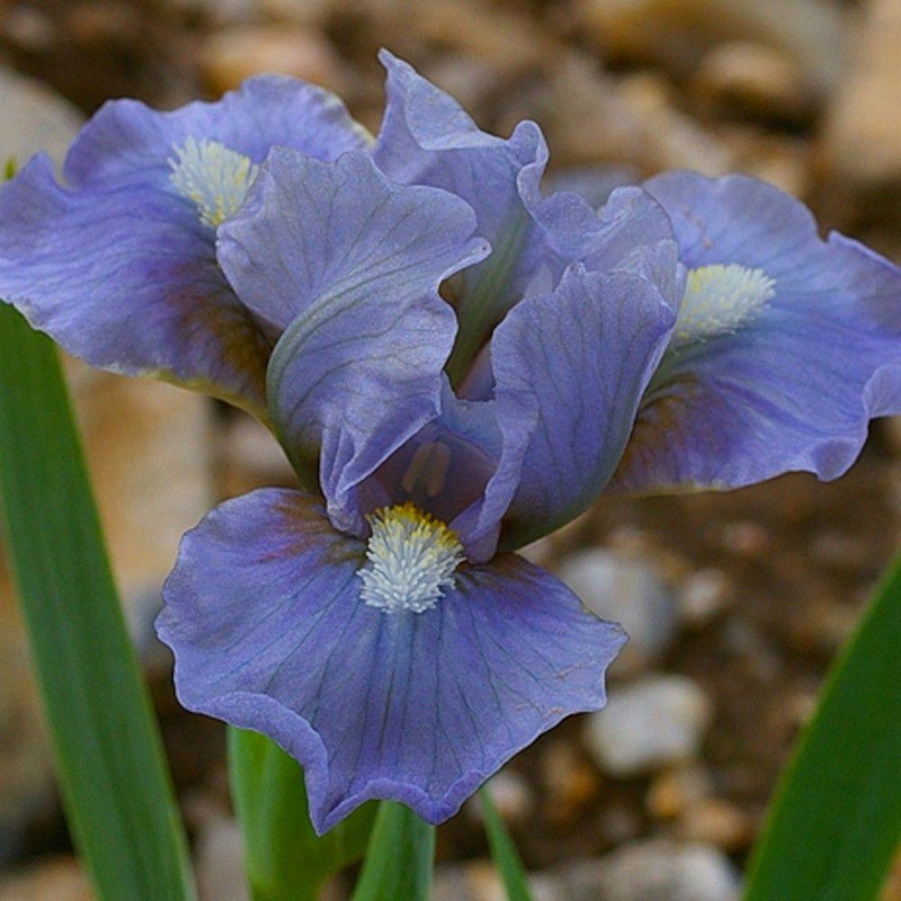 1144bbeb01eb9 Azul suave color de pizarra y barbas blancas. Flores onduladas de buena forma  moderna.