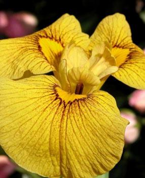 Iris d'eau