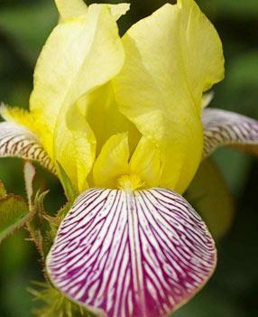 Iris historique