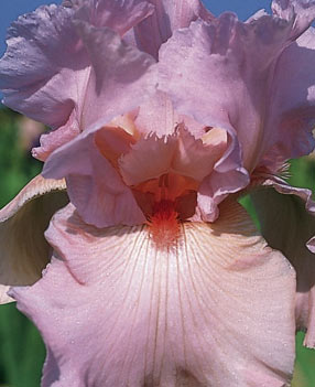 Iris rose